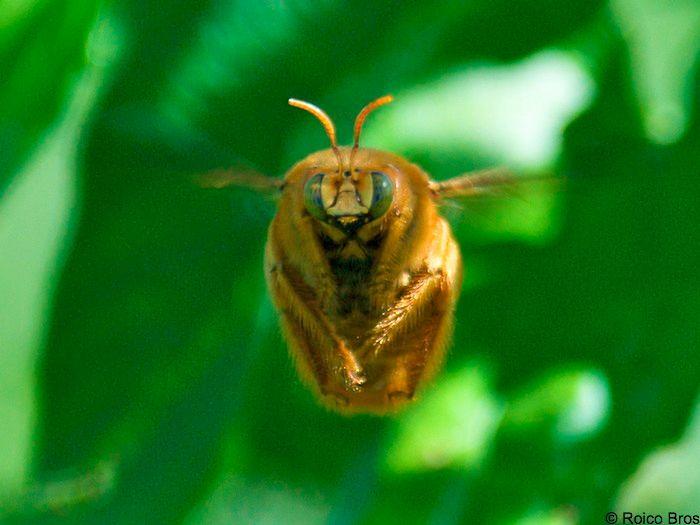 Les insectes de martinique - Insecte vert volant ...