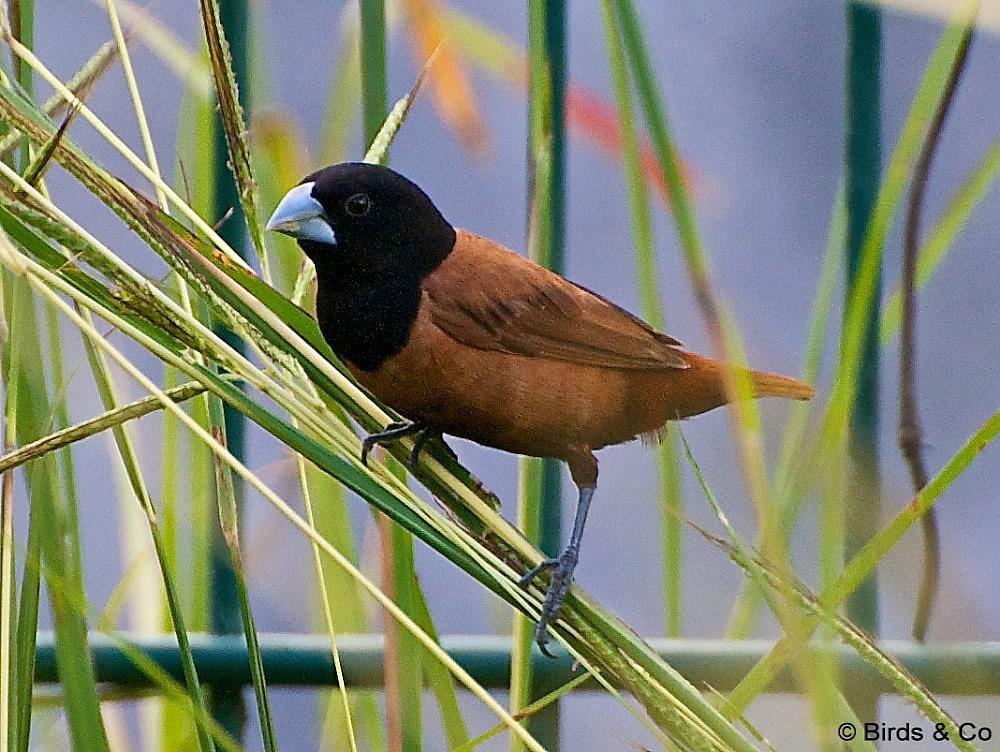 Capucin a tete noire for Oiseau tete noire