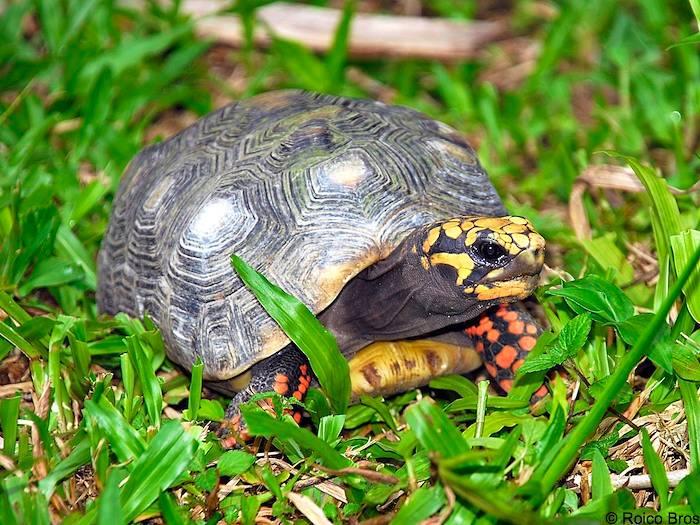 nourriture tortue hermann juvenile